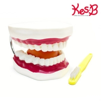 네이처 대형 치아모형   [과학]