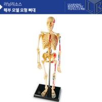해부 모델 모형 뼈대 [LER3337] [러닝리소스]