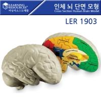 뇌 단면 모형[LER1903] [러닝리소스]