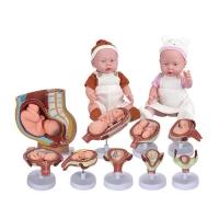 성교육세트(2050set)→(태아발육모형+성교육인형세트)