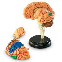 인체해부모형-뇌(LER3335) [러닝리소스]